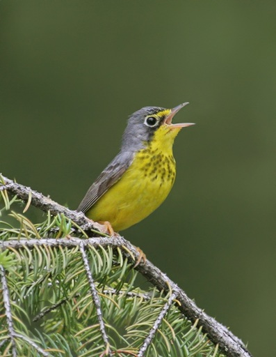 "Canada Warbler (Wilsonia canadensis), a boreal songbird listed as ""Threatened"" by COSEWIC. (Photo by Nick Saunders, with the permission of State of Canada's Birds Report 2012)"