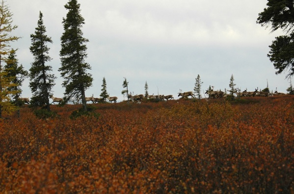 "A ""company"" of George River Caribou during Fall Migration at Kamistastin, northern Labrador, 2007.  (Photo by J. Jacobs)"