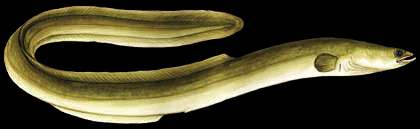 Proposed Species-at-Risk listing for the American Eel