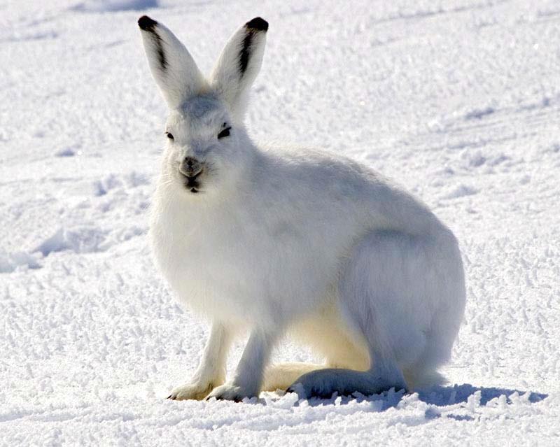 Arctic Hare Sightings