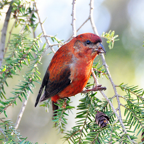 Red Crossbill Recovery Efforts