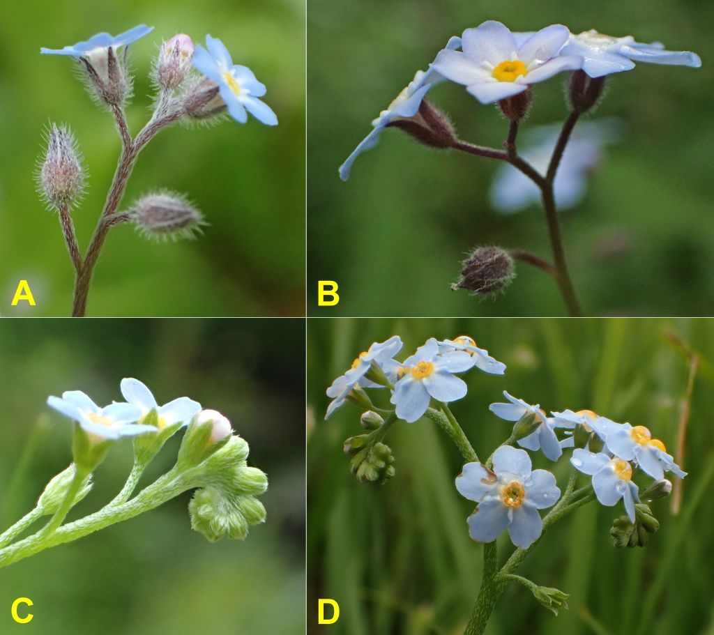 The Forget-me-nots of Newfoundland and Labrador