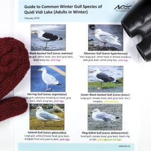 Nature NL's winter gull identification guide