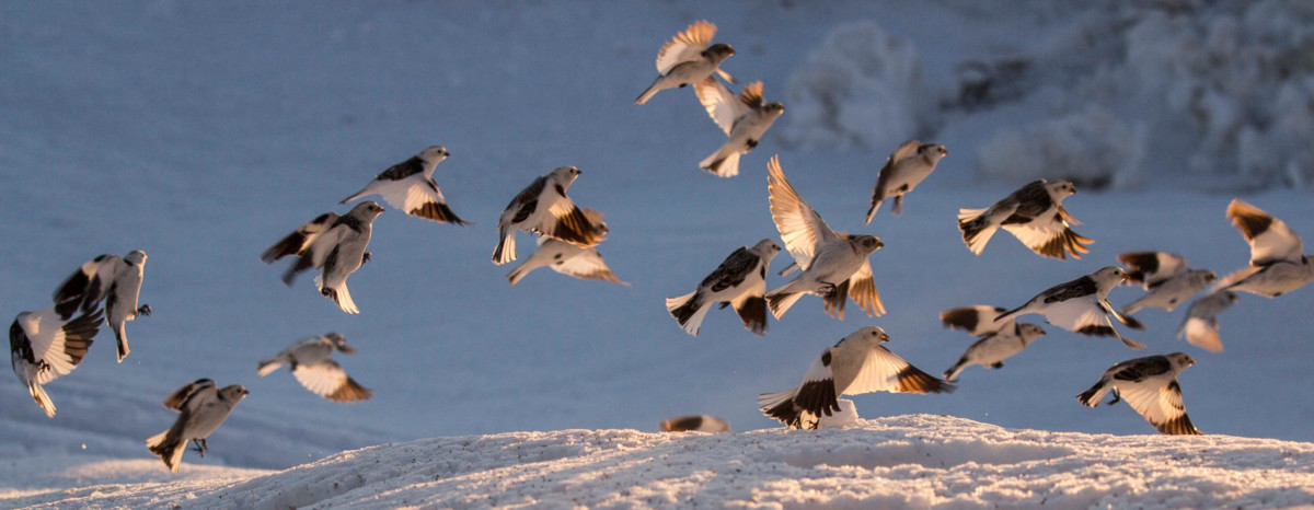 The Snow Bunting Project – Labrador