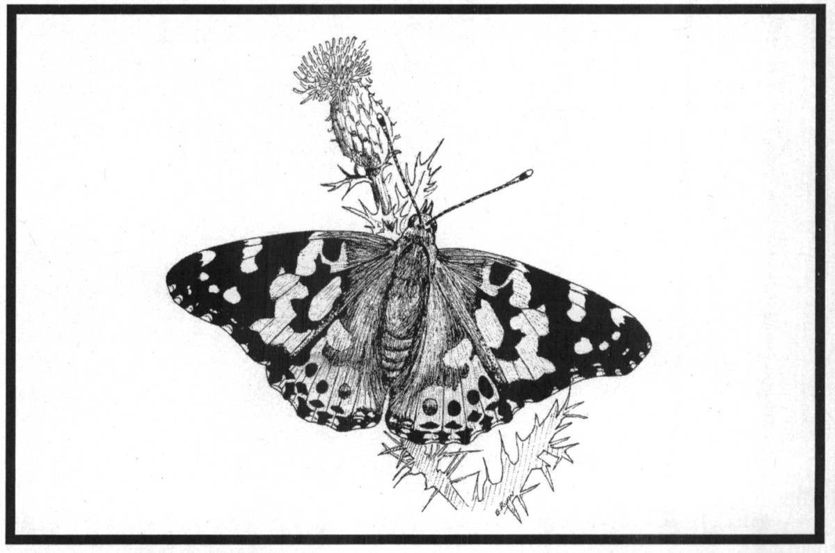 #TBT – Nature Sketches: Painted Lady Butterfly (Vanessa cardui)