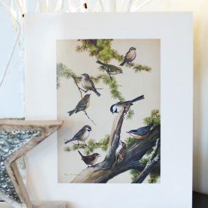 Birds of NL prints – songbirds / raptors